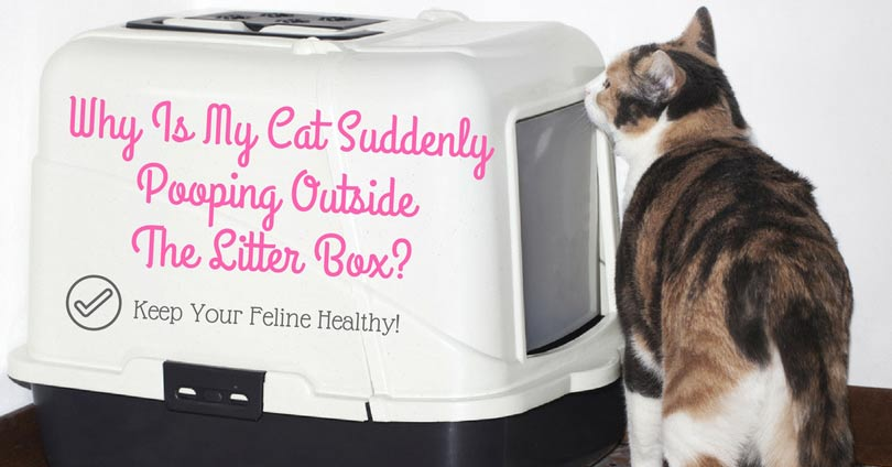 Why Is My Cat Suddenly Pooping Outside The Litter Box? Keep Your Feline  Healthy!