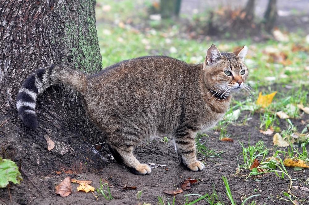 cat intestinal blockage surgery cost