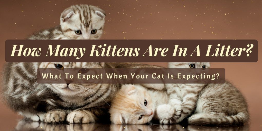how-many-kittens-are-in-a-litter