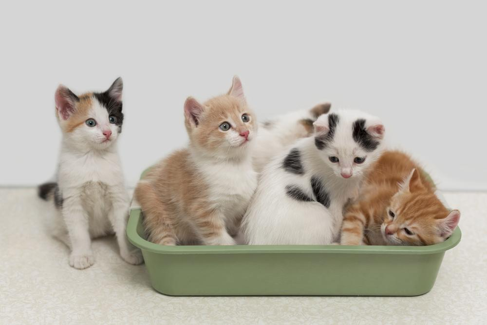 how many kittens are in a litter