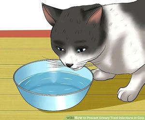cat urinary tract infection home remedies