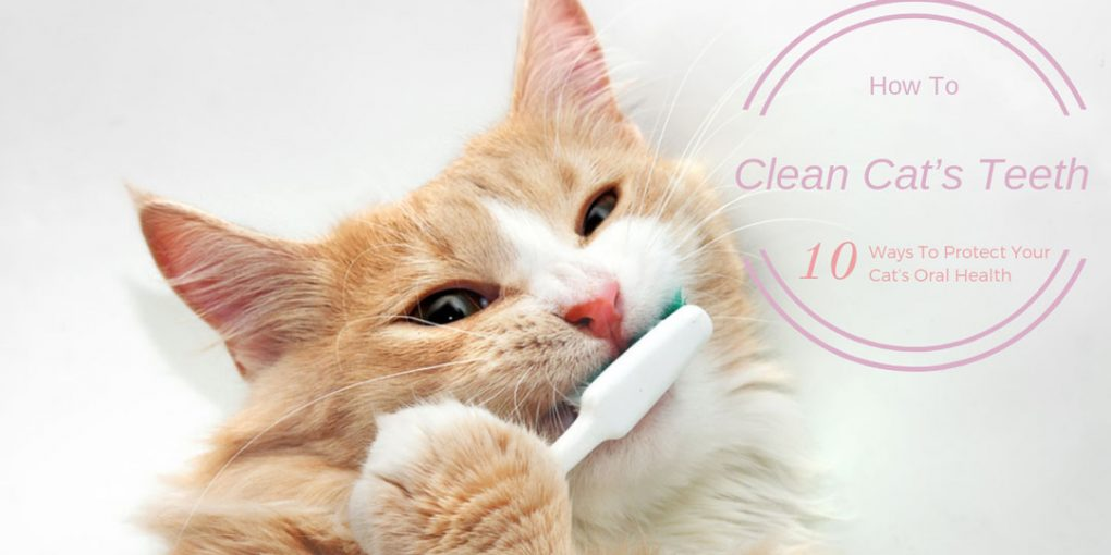 how to clean cat's teeth