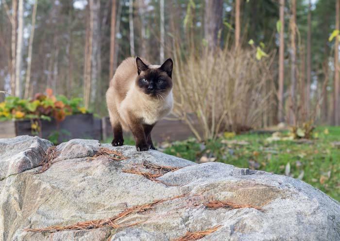 Siamese cats cost