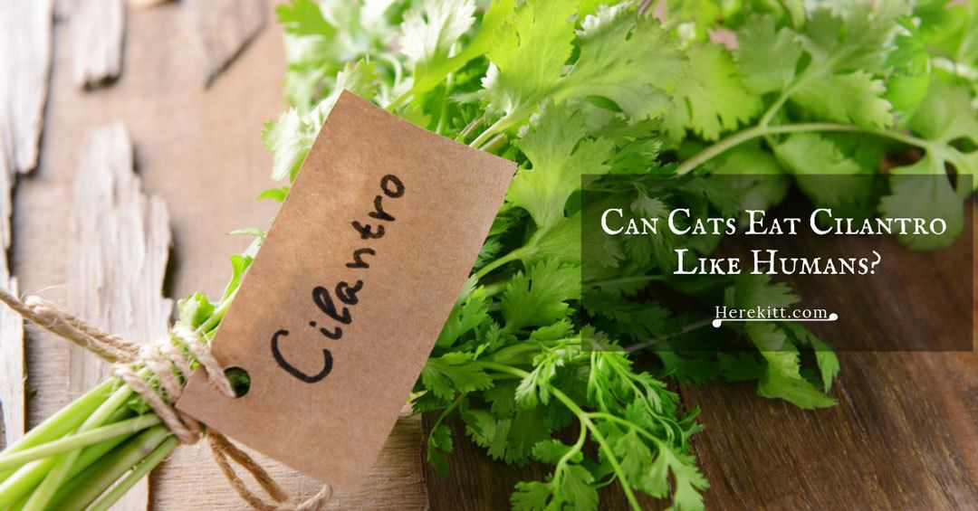 can cats eat cilantro