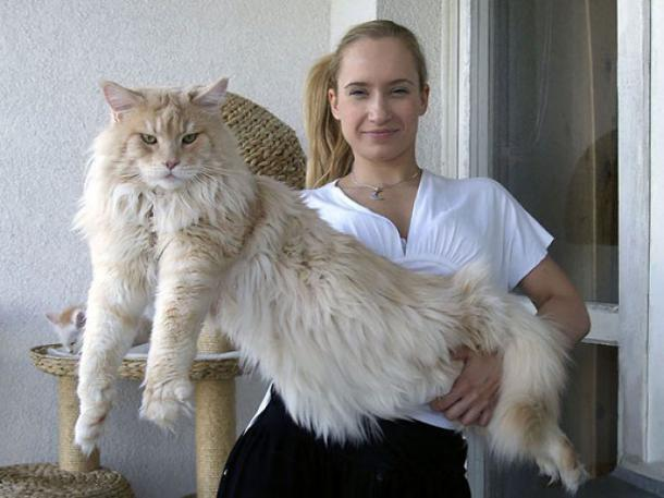 maine coon price