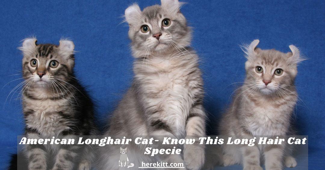 American longhair cat