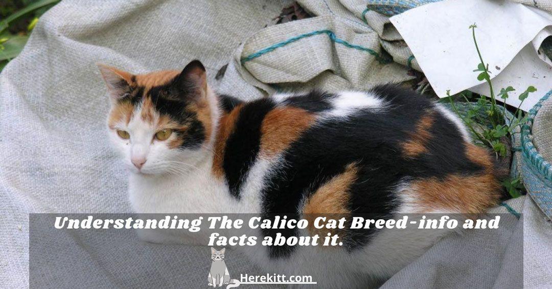 calico cat breed