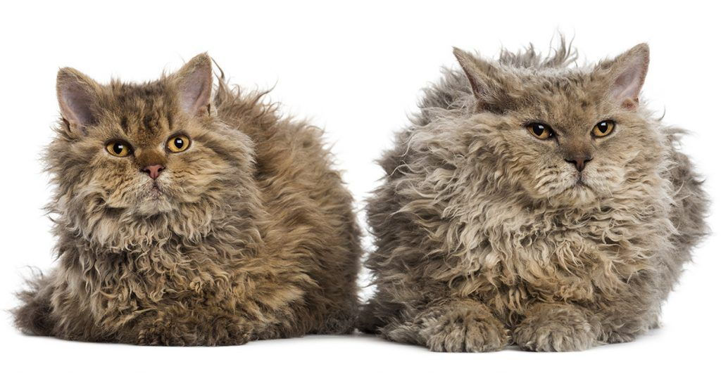 curly haired cat breeds