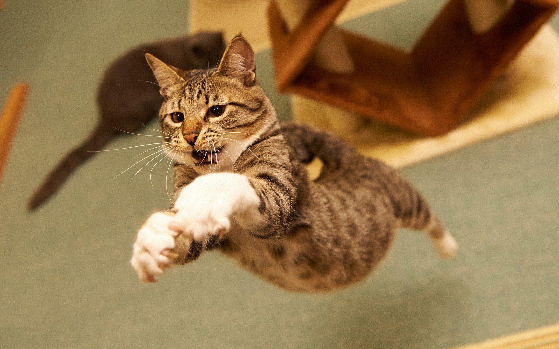 how high can a cat jump