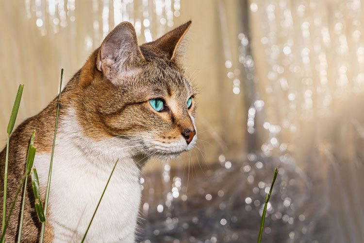 what color eyes do tabby cats have