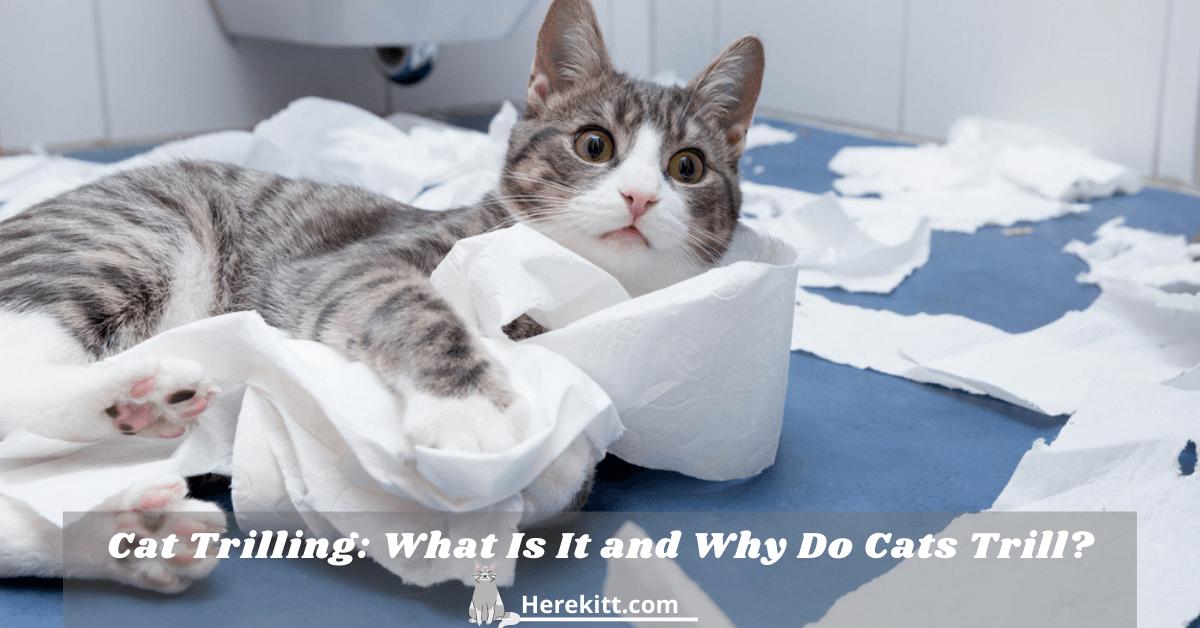 cat trilling