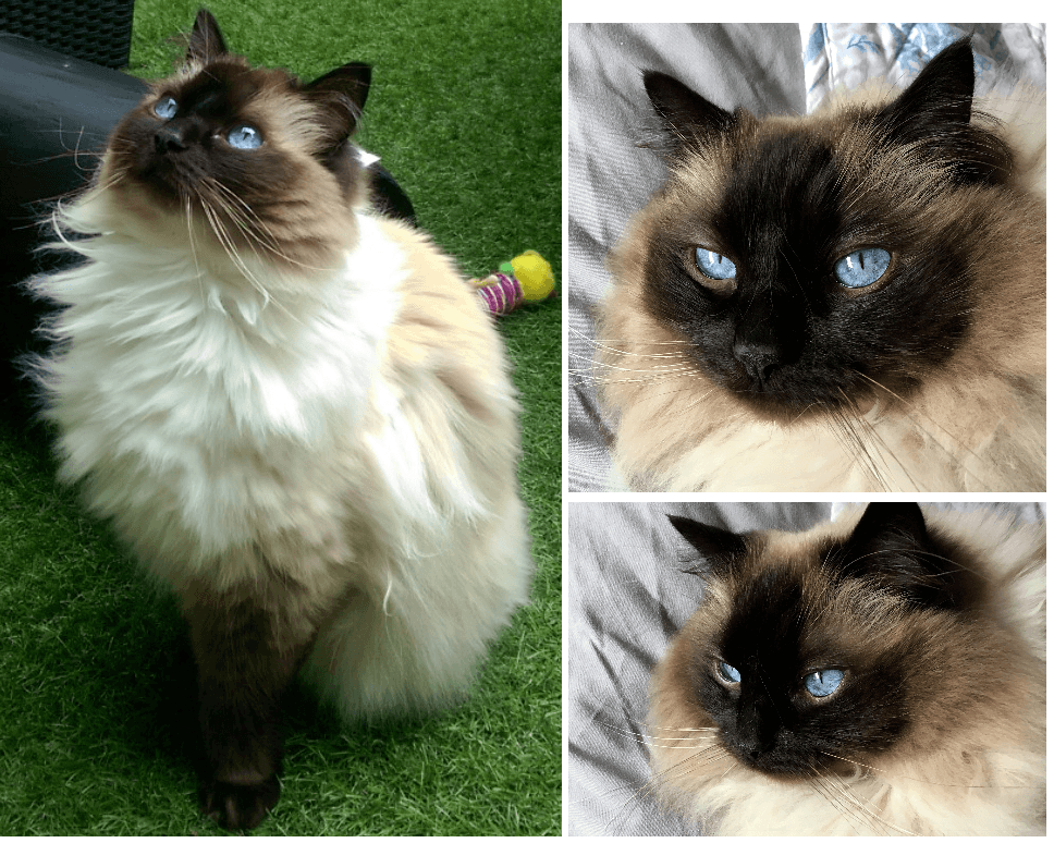 difference between Ragdoll and Siamese cats