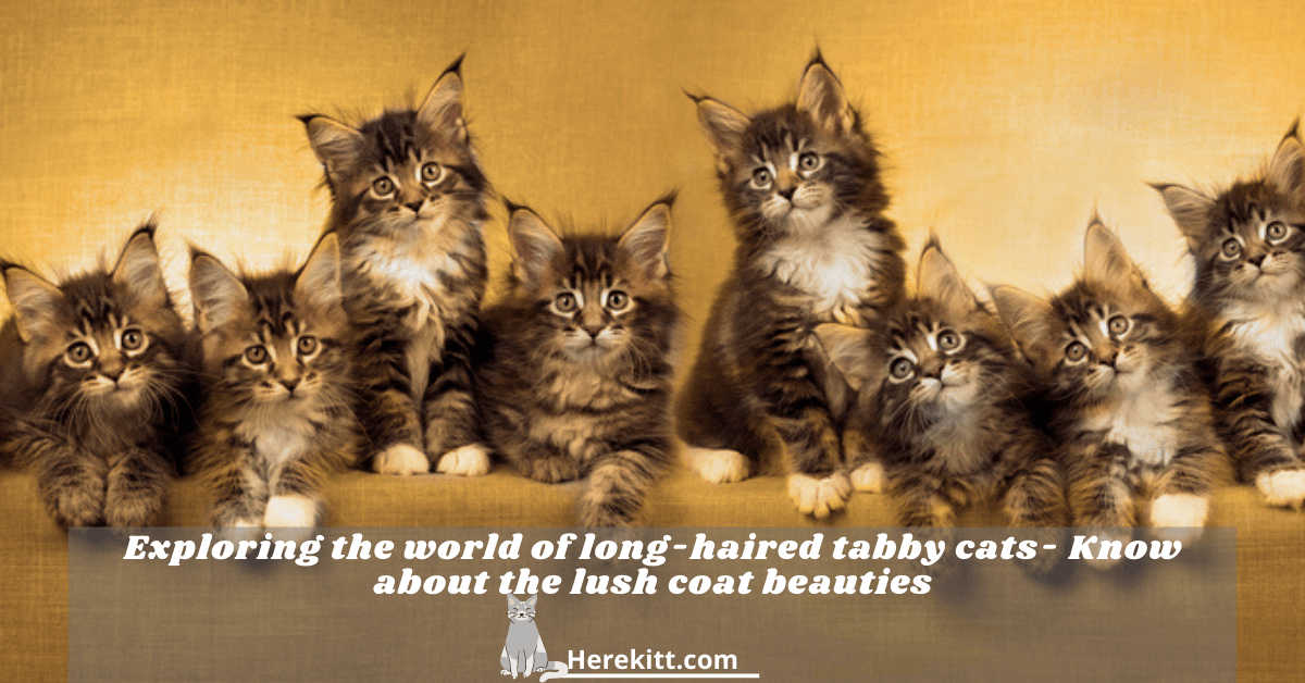 long-haired tabby cats