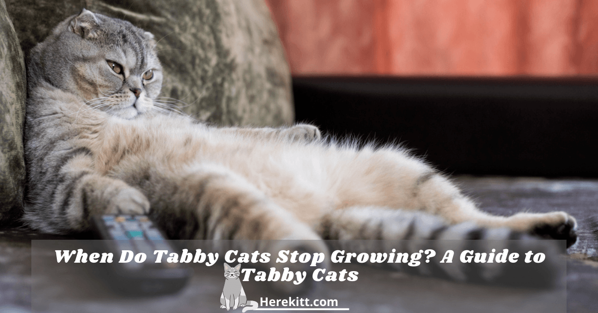 when do tabby cats stop growing