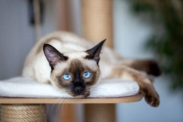types of Siamese cats