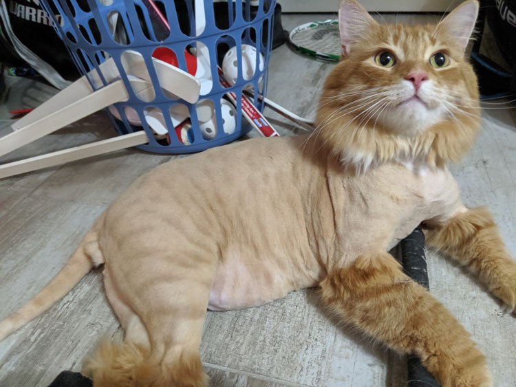 shaved tabby cat