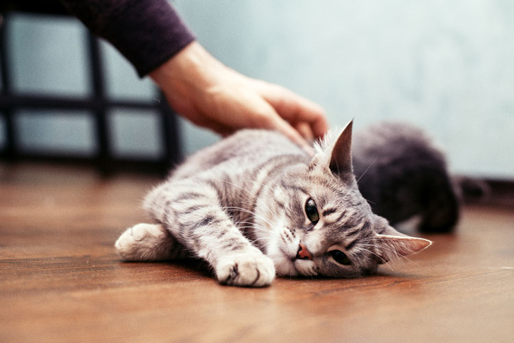 are tabby cats rare