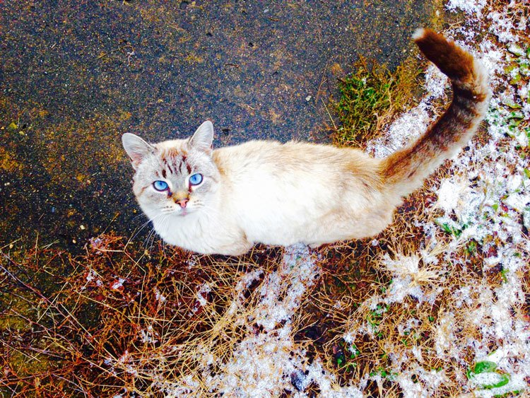 why do Siamese cats have blue eyes