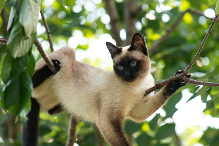 why are Siamese cats so vocal