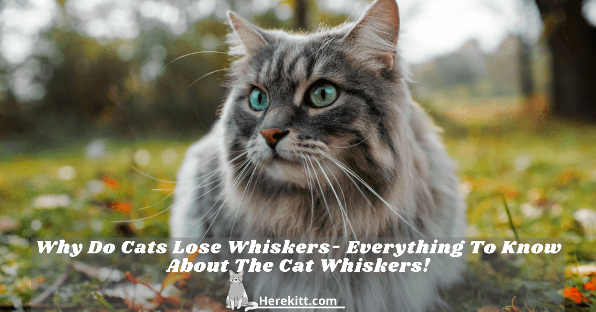 why do cats lose whiskers